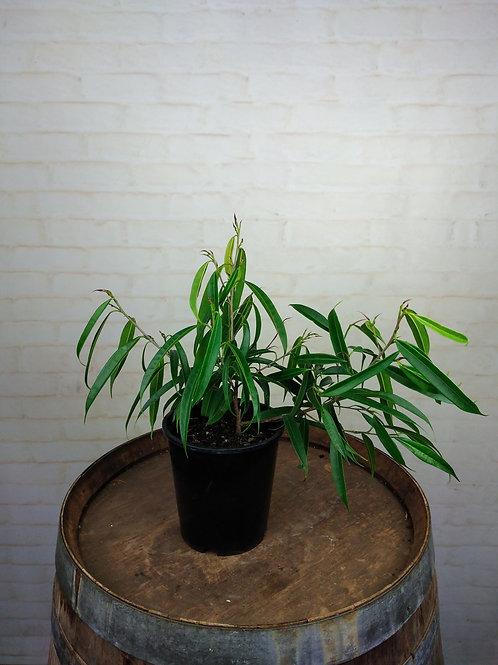 Ficus Petali