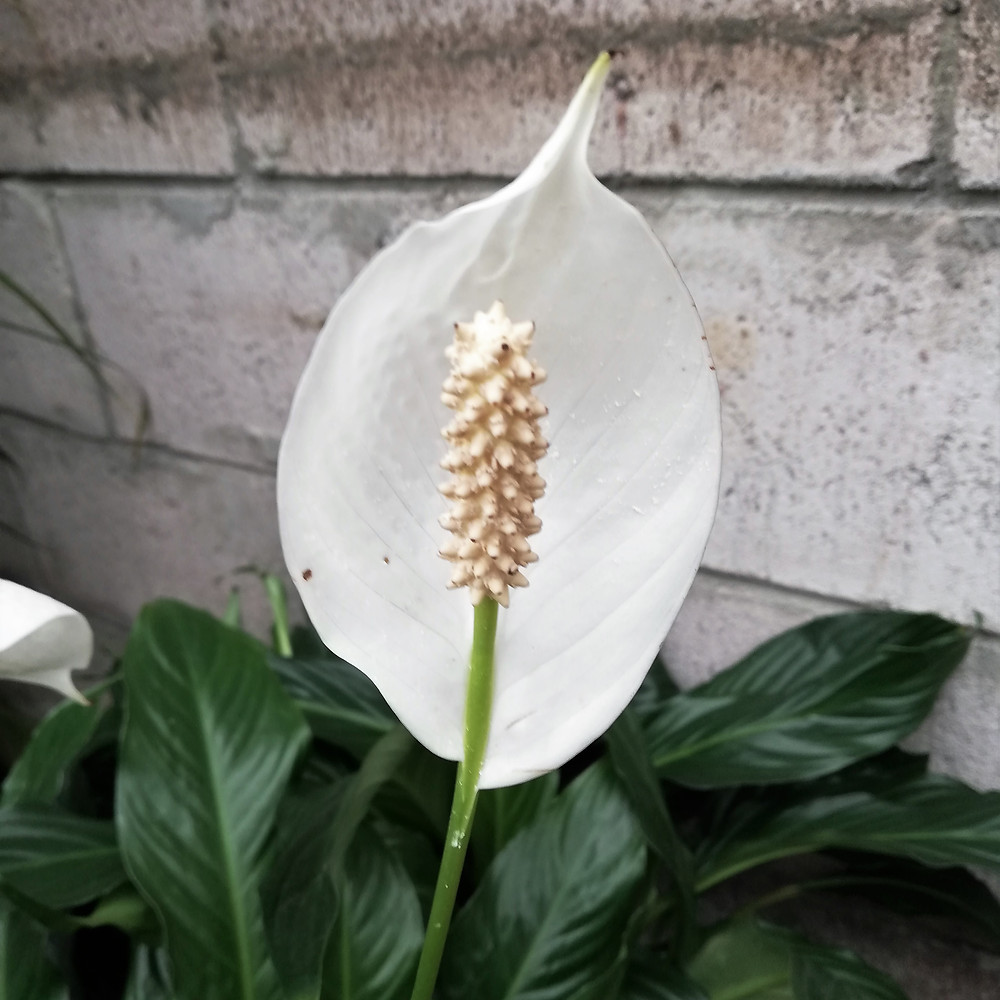 Peace Lily leaf bract 'flower'