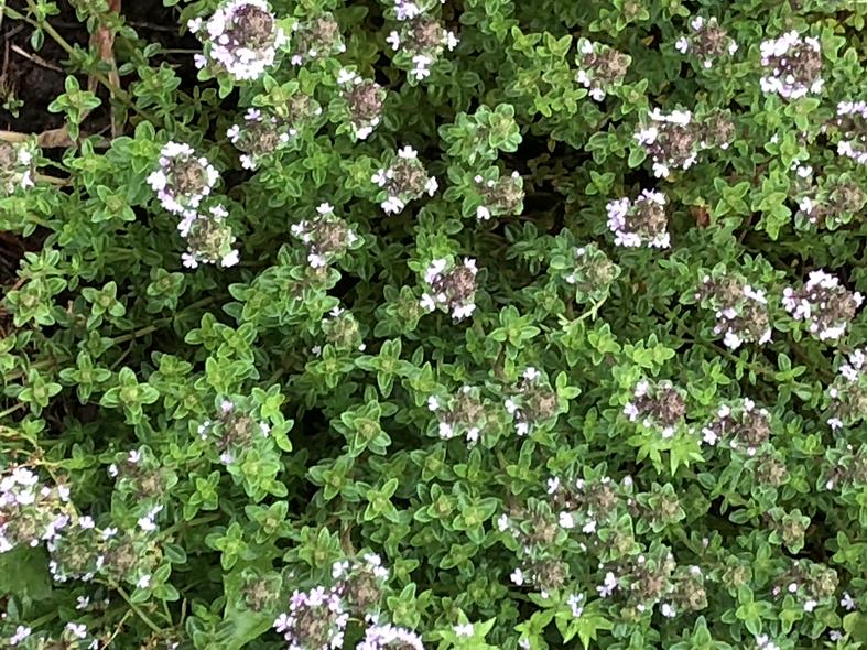 Thyme herb bundle