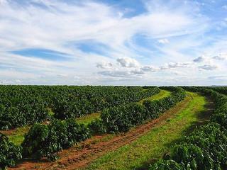 Avanço em colheita permite quantificar quebra do café com clima