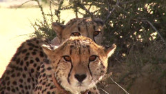 Namibia Safari Cheetah.mp4 2020.06.02 10