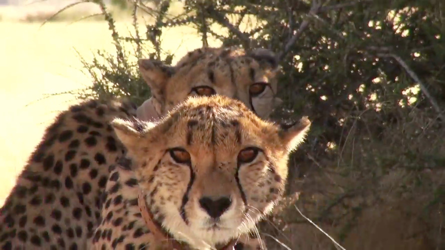 Namibia Safari Cheeta