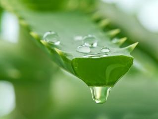 L'aloé véra plante exceptionnelle