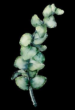 Eucalyptus branch.png