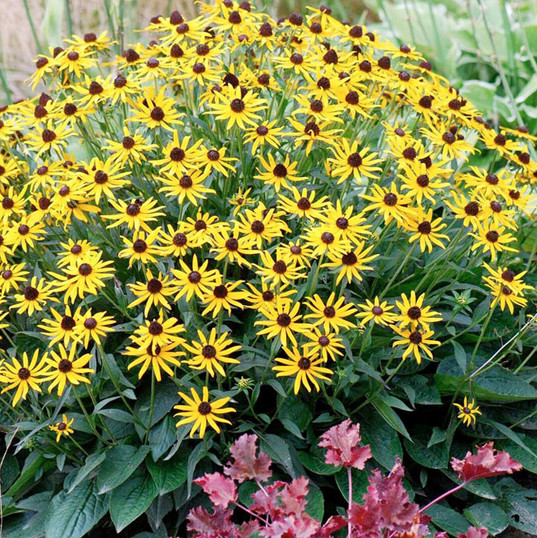 little gold star rudbeckia.jpg