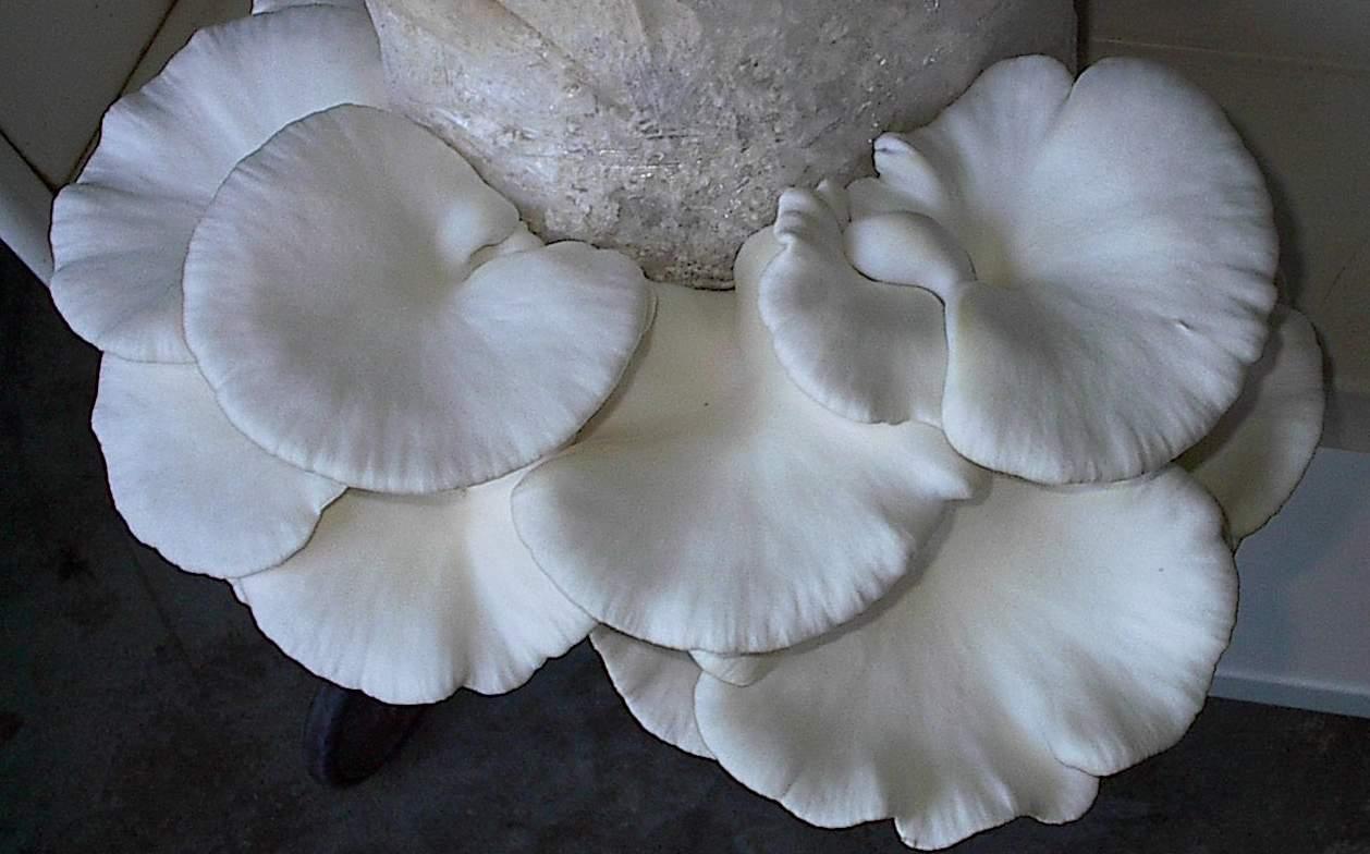 Pleurote blanc