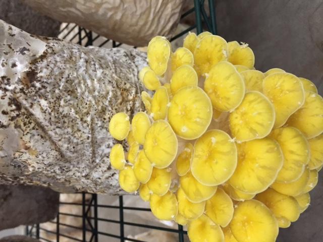 Golden Oyster