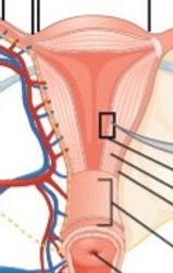 GYN anatomy and histology_edited.jpg