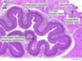Esophagu histology