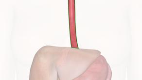 Esophagus Anatomy