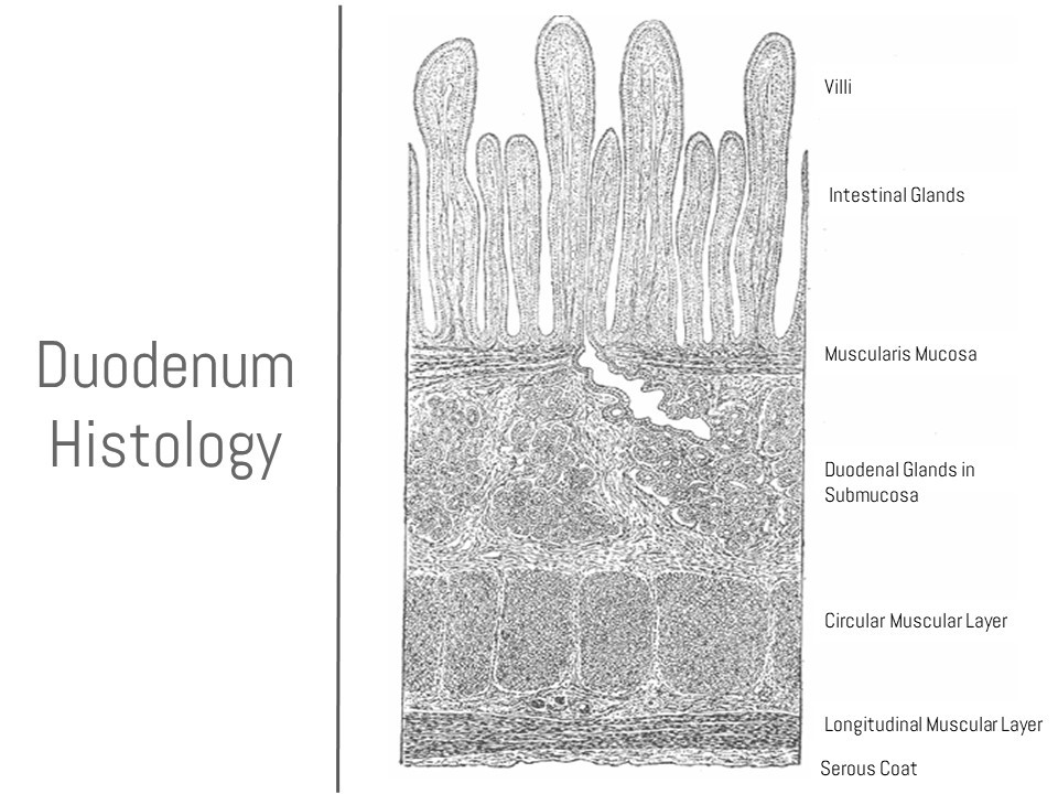 A Histology Tour of the GI Tract- The Duodenum
