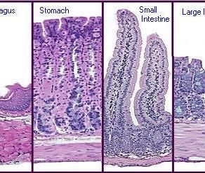 Esophagus Histology