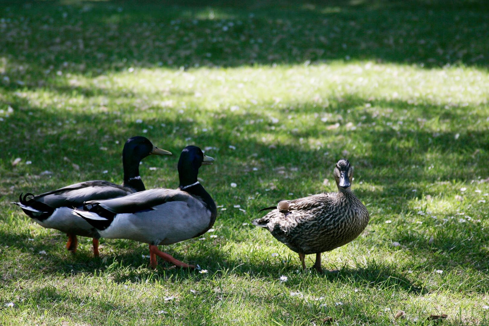 049 - The Resident Ducks.JPG