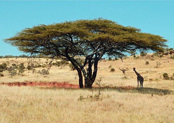 Tree-and-giraffe_1.jpg