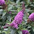 periwinkle butterfly bush.jpg