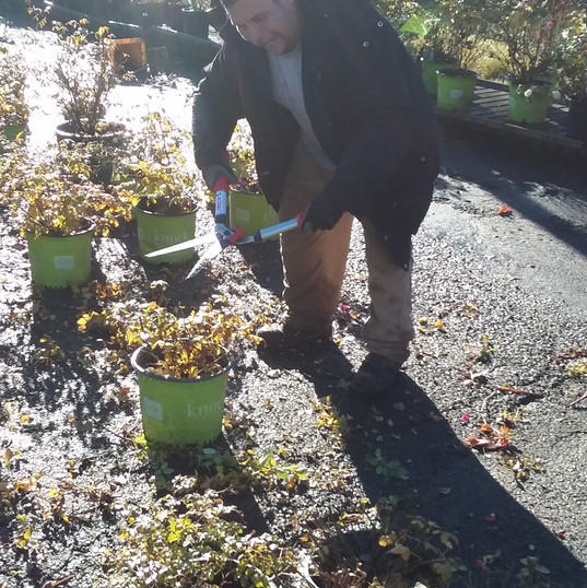 Sergio prepping plants for cold storage.