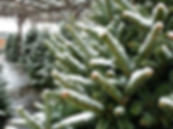 Christmas trees with snow.jpg