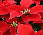 Poinsettias-Red.jpg