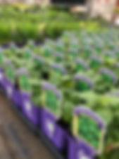 herb plants.jpg
