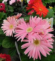 gerber daisy.JPG