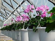 Row pink geraniums.JPG
