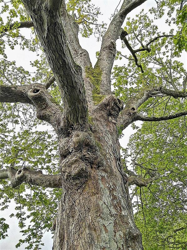 1 Sycamore tree.jpg