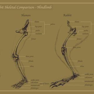 Human Rabbit Skeletal Comparison