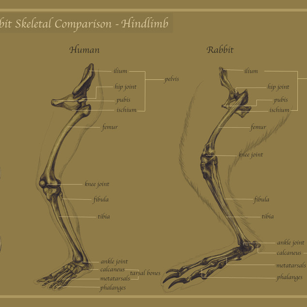 Human Rabbit Skeletal Comparison