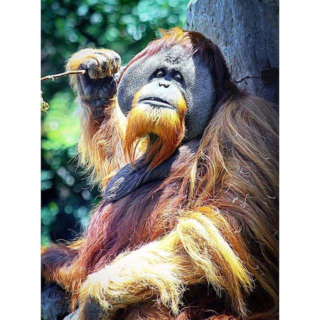 This is Sutra a male Sumatran Orangutan