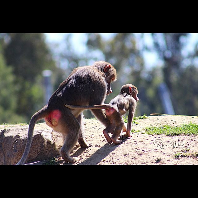 Hamadryas Baboon Mother telling her baby