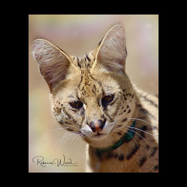 Happy Serval Saturday! 😻This is Cheka f
