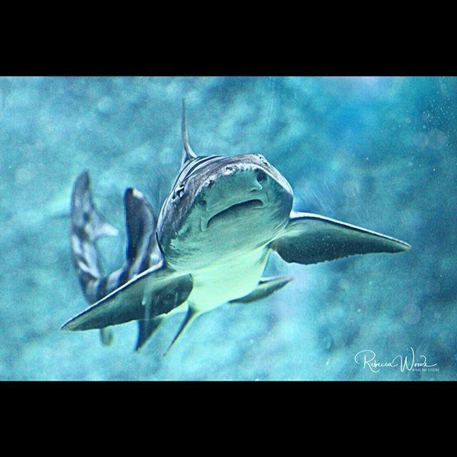 Leopard Shark because #SharkWeek2018 🦈