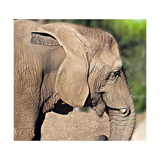 It's Save The Elephant Day! 🐘So here is