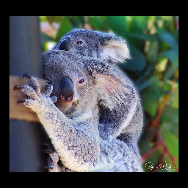 Marsupial Koala Momma with her 8 month o