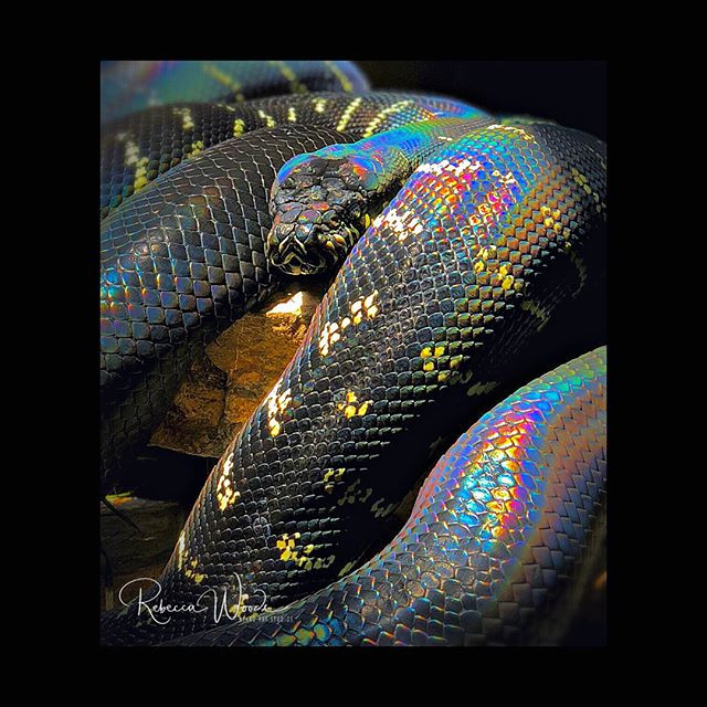 This is a Boelen's python and I have to