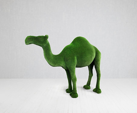 Camel (one-Humped)