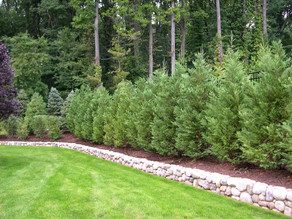 Best Trees and Shrubs for Privacy Screening in Cumming, Ga