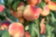 Peaches 3.jpeg
