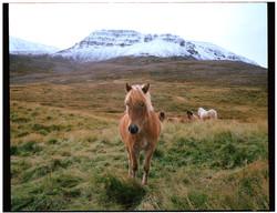 IcelandicHorse.jpg