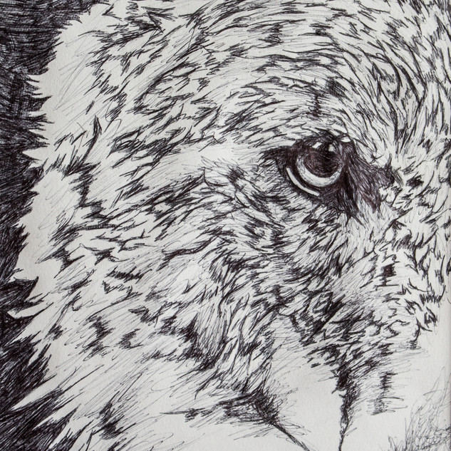 Wolf Biro Drawing