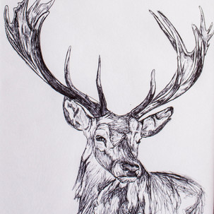 Stag Biro Drawing