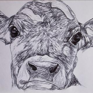 Jersey Cow Biro Drawing