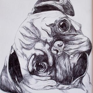 Pug Biro Drawing