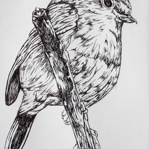 Robin Ink Drawing