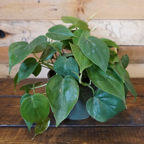 """Philodendron 6""""pot"""