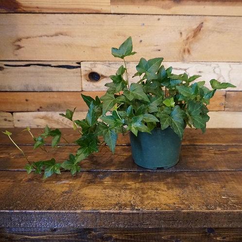 "6"" Ivy Plant"