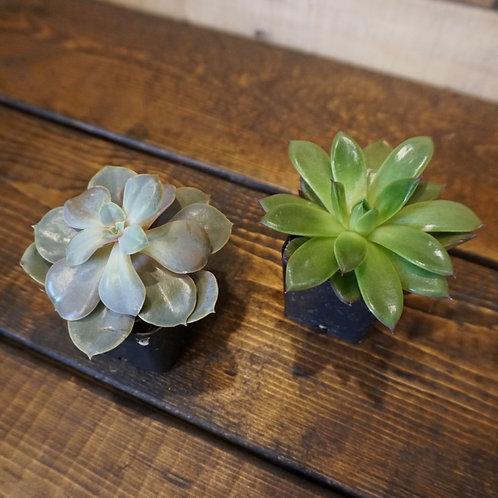 """Succulents 2""""Pot"""
