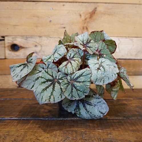 Rex Begonia Exotic Angel Plant