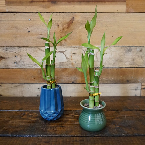 Lucky Bamboo Plants Small