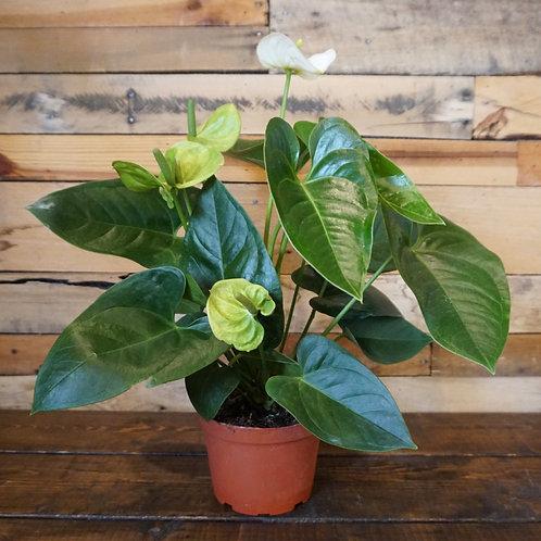"""Anthurium Plant (6""""pot)"""